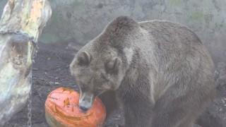 Medvede halloween